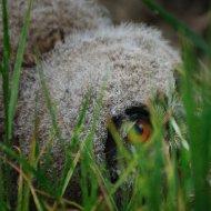 Junger Uhu - im Gras II