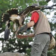 Steinadler - auf der Hand des Falkners I