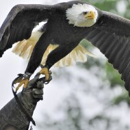 Weisskopfseeadler - Abflug