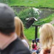 Weisskopfseeadler - Flug durchs Publikum