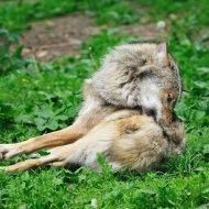 Liegender Wolf I