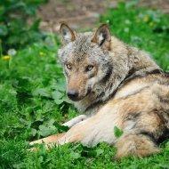 Liegender Wolf II