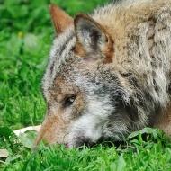 Liegender Wolf III