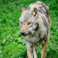 Wolf im Anmarsch I