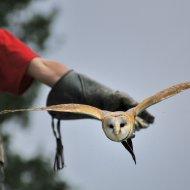 Abflug von der Hand des Falkners