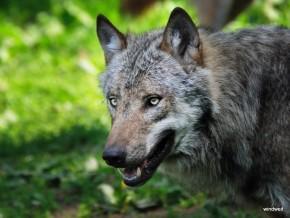 Tierpark Sababurg - Wölfe und ein Luchs