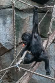 Gorillas im Bogoriwald