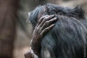 Bonobos mal nachdenklich
