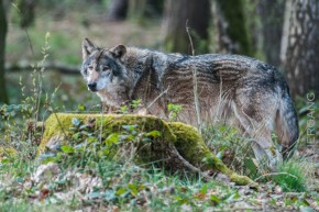 Wölfe in der Fasanerie Klein-Auheim