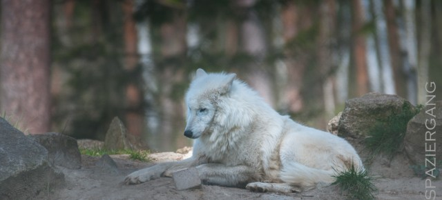 Polarwölfe in der Fasanerie Klein Auheim
