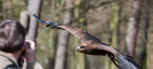 Greifvogelschau in der Fasanerie Klein-Auheim