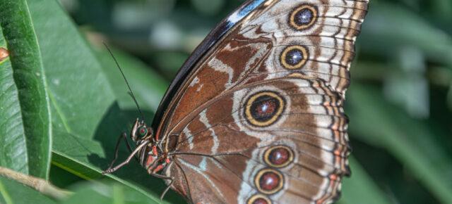 Das Schmetterlingshaus im Palmengarten ist offen